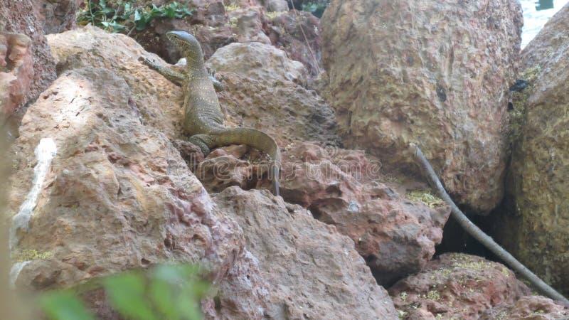 Lizard stock photography