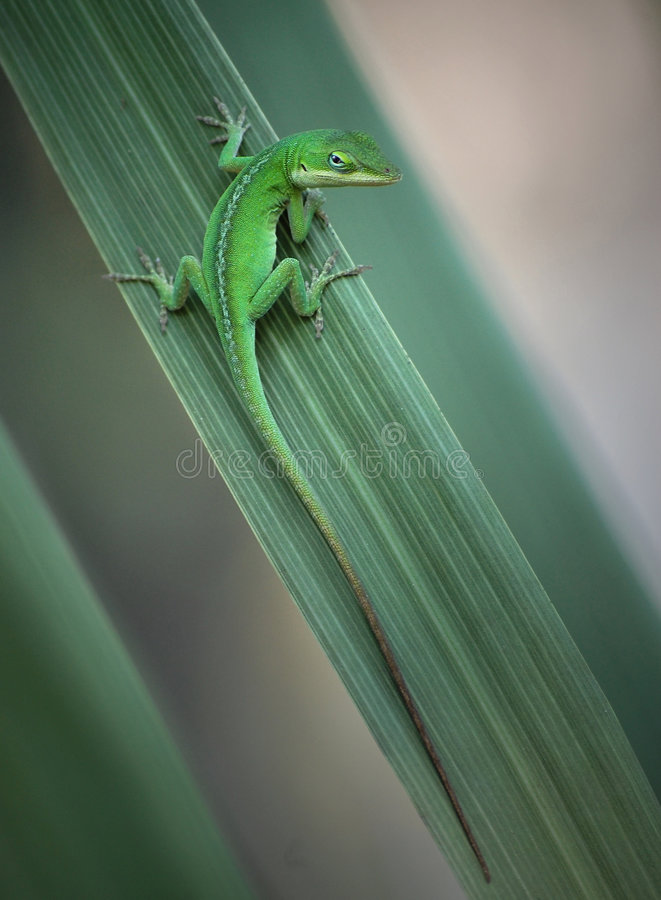 Lizard on leaf. royalty free stock photography