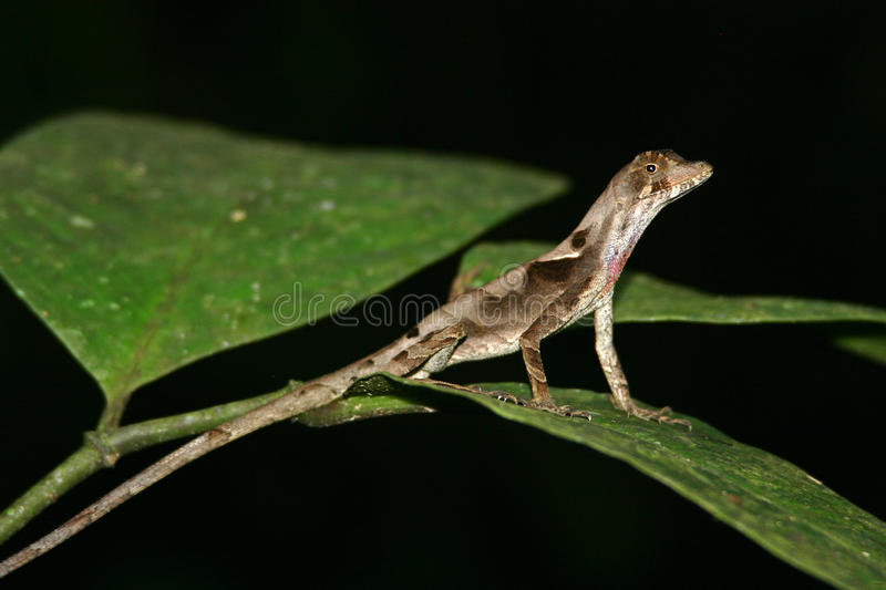 Lizard on Leaf. Anolis Lizard on a leaf in Ecuador Jungle at night stock images