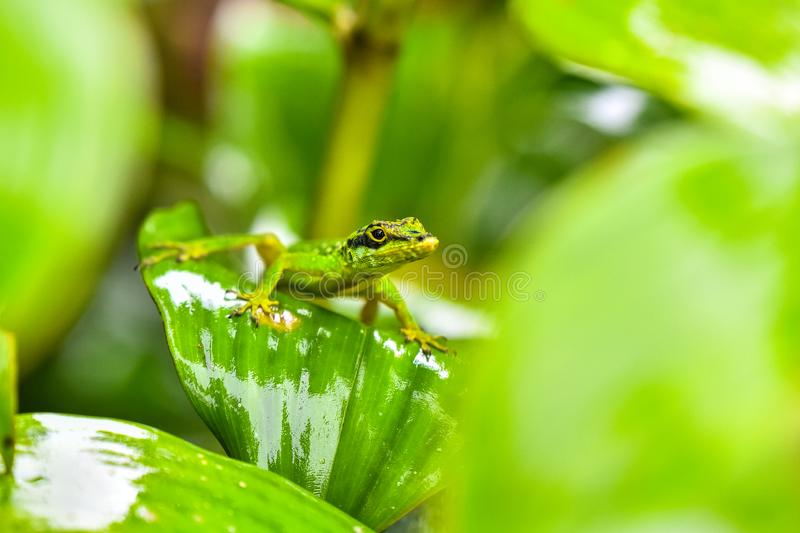 Lizard on leaf - Close up to beautiful animal on grean leaf stock image