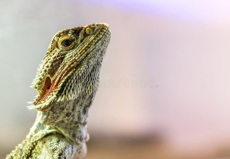 Download Lizard stock image. Image of reptilian, animal, crawling - 36669449