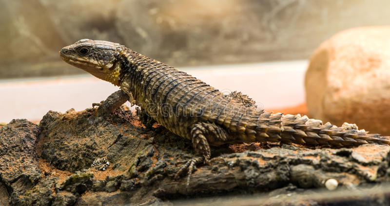 Lizard. Between leaves and stones stock photography