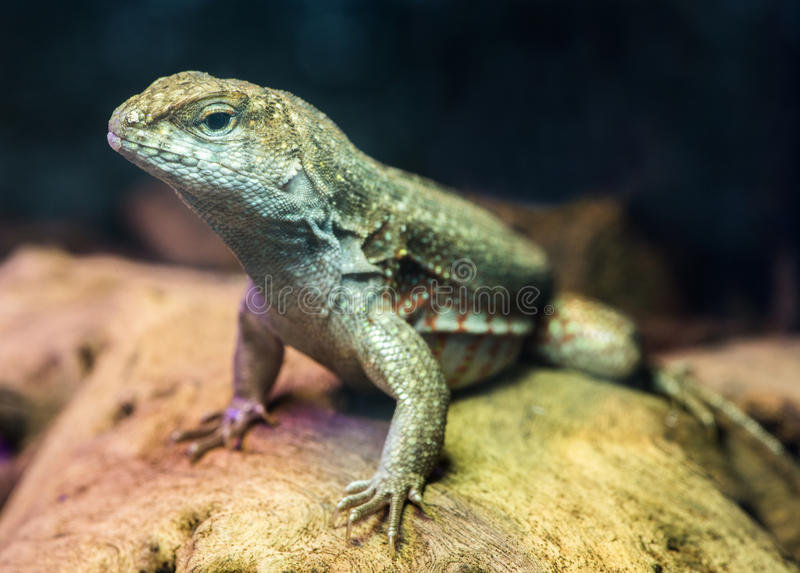 Download Lizard stock image. Image of up, exotic, creature, jungle - 36669725
