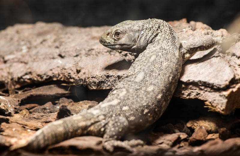 Lizard. Between leaves and stones stock image