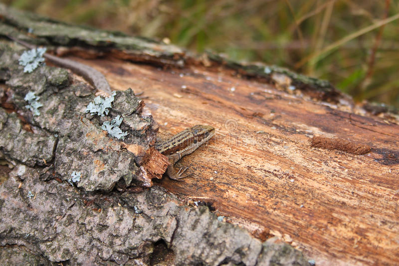 Lizard on the log which has grown with a moss stock images
