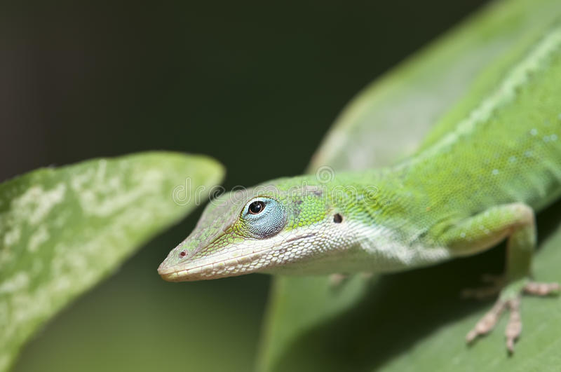 Lizard looking up royalty free stock images