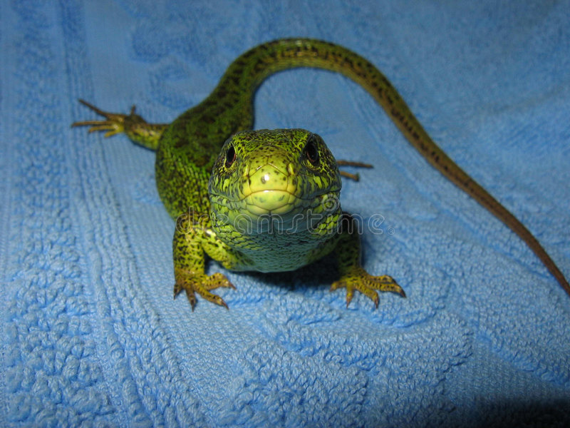 Lizard macro royalty free stock images