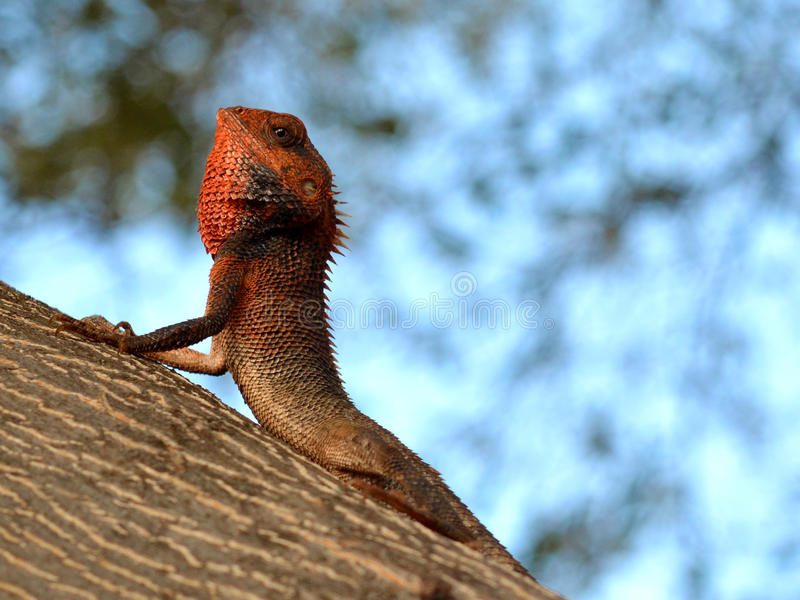 Lizard in Mauritius royalty free stock images