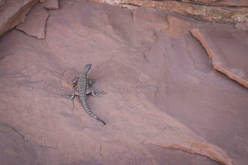 Lizard in Moab, Utah. Lizard on rock in Moab, Utah royalty free stock photos