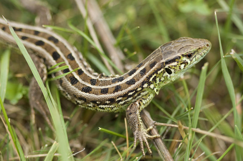 Lizard in mountain of the caucasus stock images