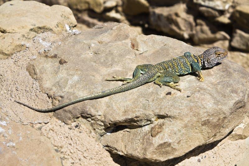 Lizard In New Mexico Royalty Free Stock Photos