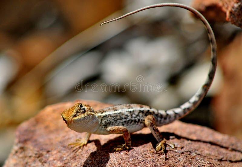 Lizard Outback Australia stock photos