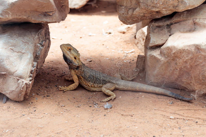 Lizard - Pogona vitticeps - Bearded Agama sits on ground at the Australian Zoo Gan Guru in Kibutz Nir David in Israel royalty free stock photos