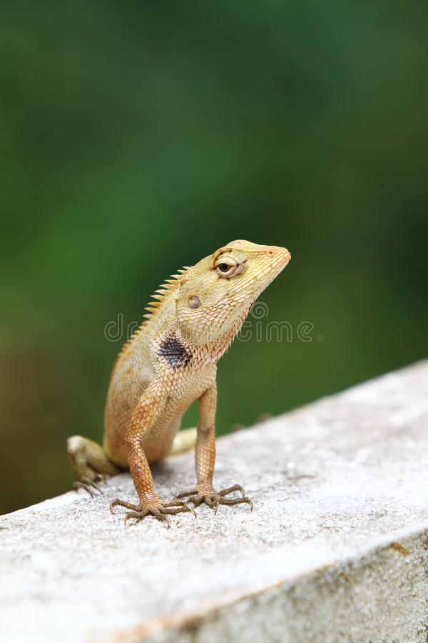 Lizard portrait royalty free stock images