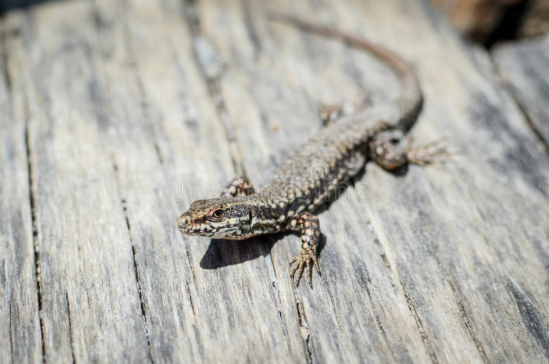 Download Lizard stock photo. Image of tail, alertness, camouflage - 31448800