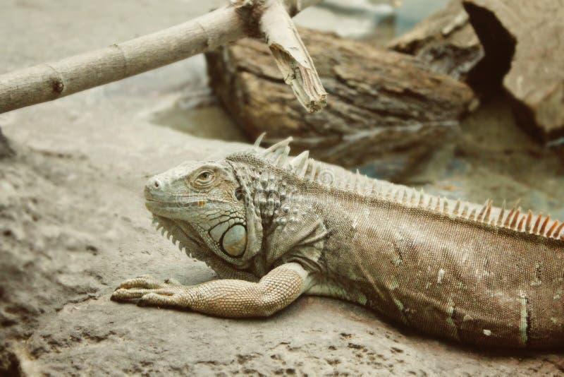 Lizard - Pseudocalotes microlepis, stock photography