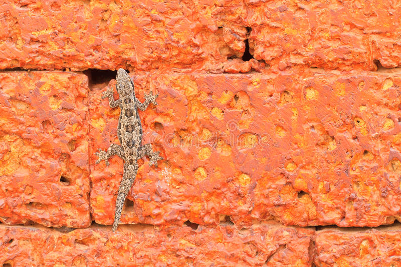 Lizard. The lizard on red old stone background royalty free stock image