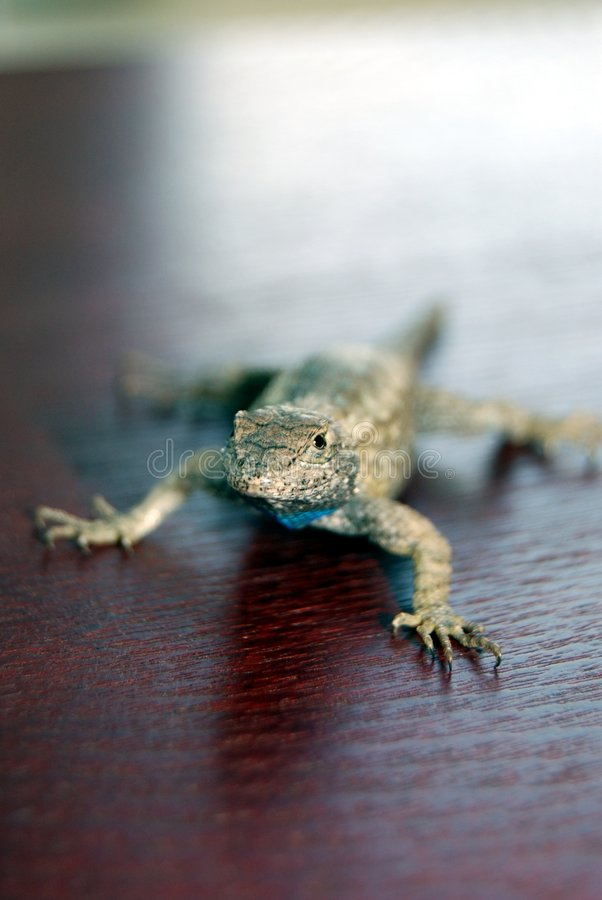 Lizard on red wood stock photo