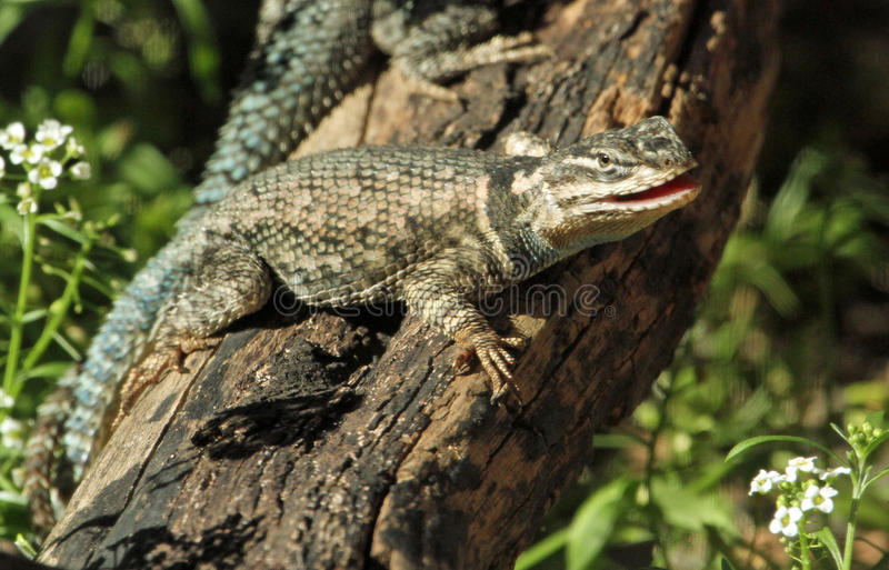 Lizard. Reptile With Open Mouth Posed On Tree Branch With White Flowers royalty free stock photos