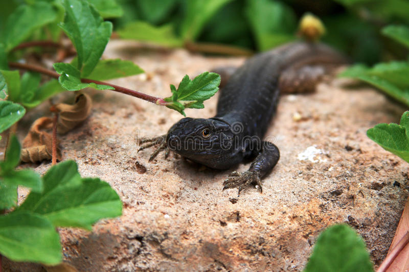 Lizard resting on rock stock photography