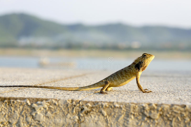 A lizard at the river in the sunshine.  royalty free stock images
