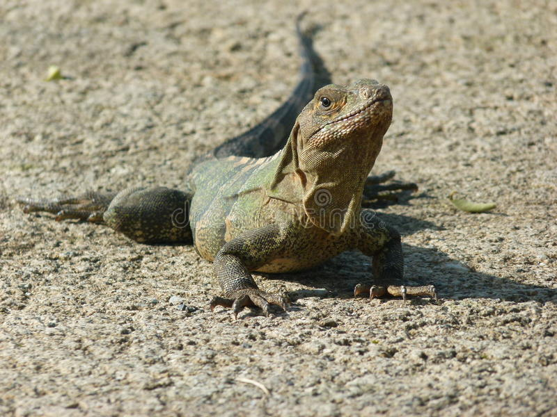 Lizard on road royalty free stock images