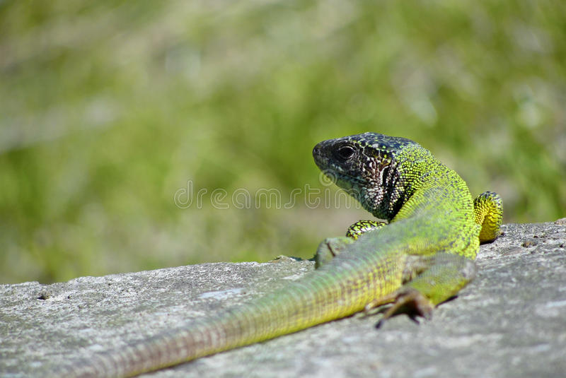 Download Lizard on a rock stock image. Image of scaly, looking - 26410953