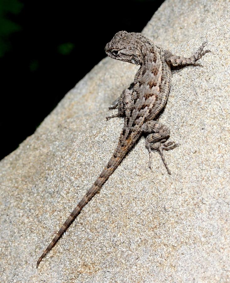 Download Lizard on a rock stock photo. Image of wildlife, camouflaged - 26471166
