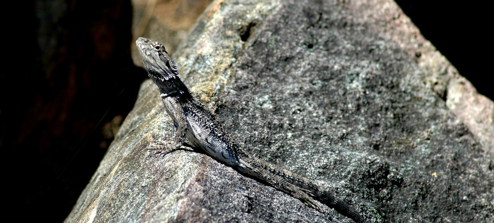 Download Lizard on rock stock photo. Image of details, camouflage - 5989016
