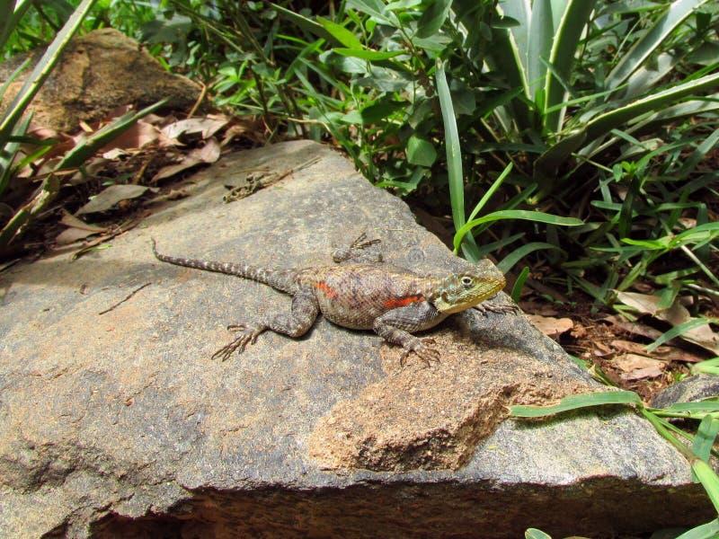 Lizard. On a rock in Kenya stock photography