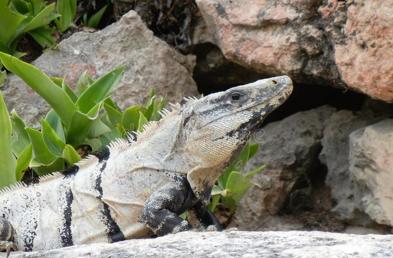 Lizard on rock Merida, Yucatan royalty free stock photo