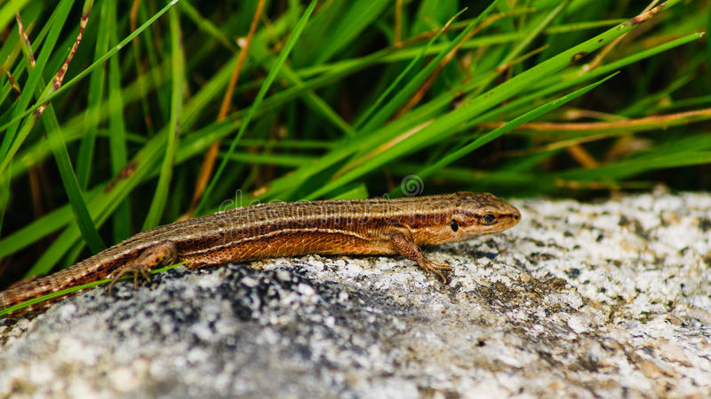 Lizard on rock stock images