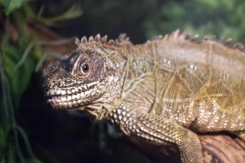 Lizard (Sailfin lizard) close-up portrait royalty free stock photo