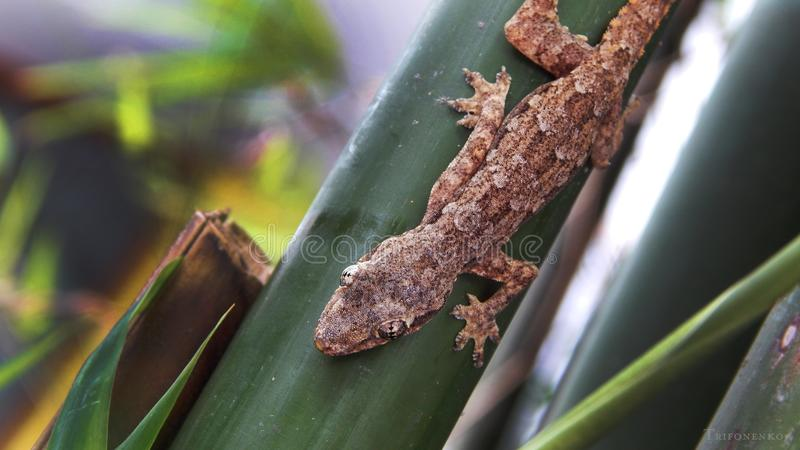Lizard sits on a bamboo branch. In Thailand stock images