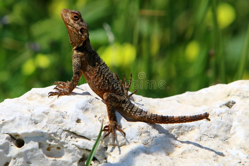 The lizard sits on a big rock. And basks in the sun royalty free stock photography