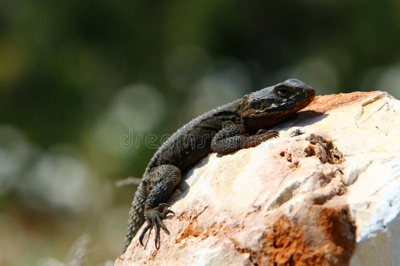 The lizard sits on a big rock. And basks in the sun stock photography