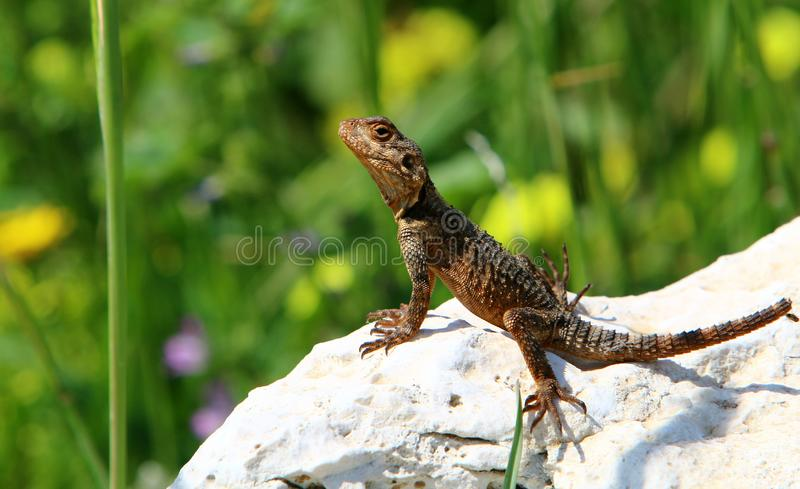 The lizard sits on a big rock. And basks in the sun stock photos