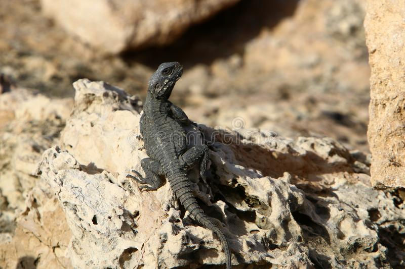 The lizard sits on a big rock. And basks in the sun royalty free stock images