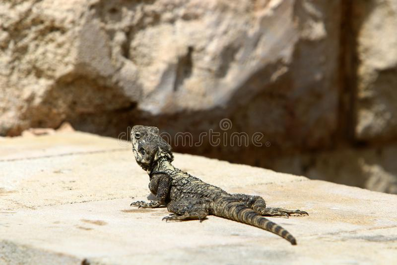 The lizard sits on a big rock. And basks in the sun stock images