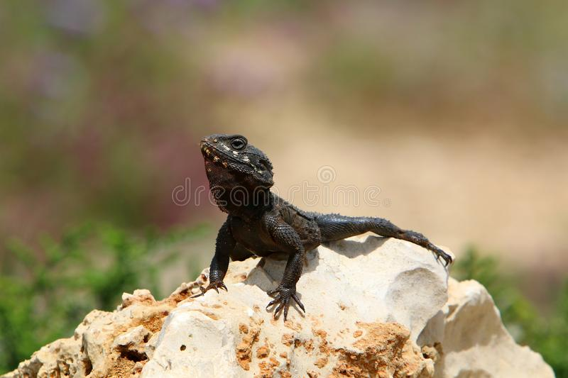 The lizard sits on a big rock. And basks in the sun royalty free stock photo