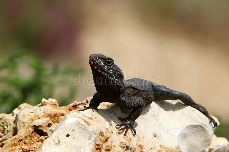 The lizard sits on a big rock stock photos