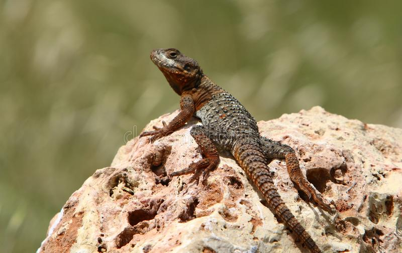 The lizard sits on a big rock royalty free stock images
