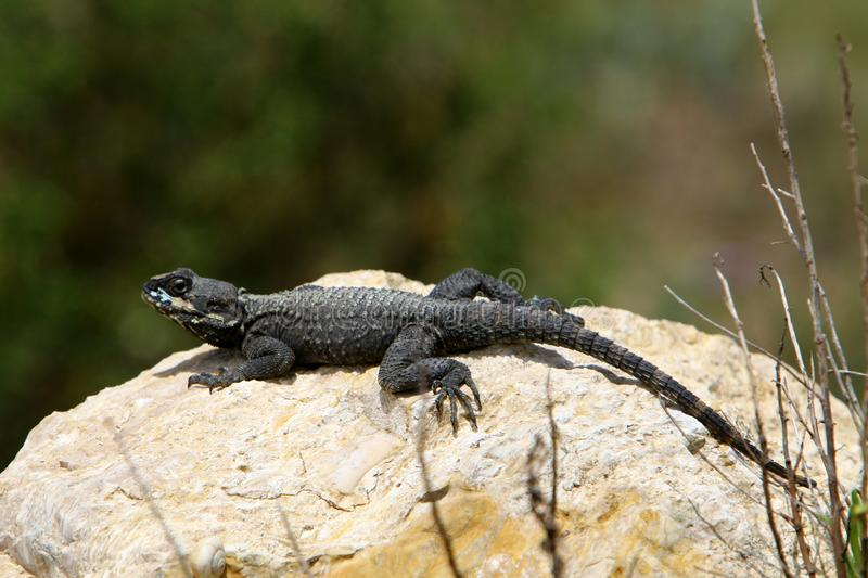 The lizard sits on a big rock stock photography
