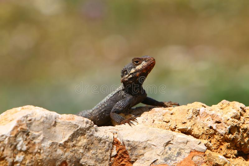 The lizard sits on a big rock royalty free stock photos