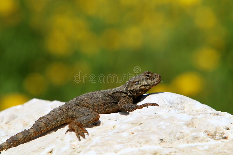The lizard sits on a big rock royalty free stock image