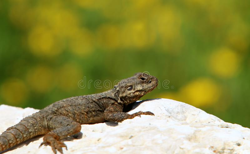 The lizard sits on a big rock royalty free stock photo