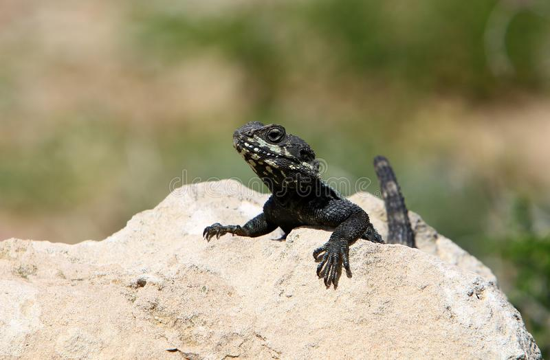 The lizard sits on a big rock stock images