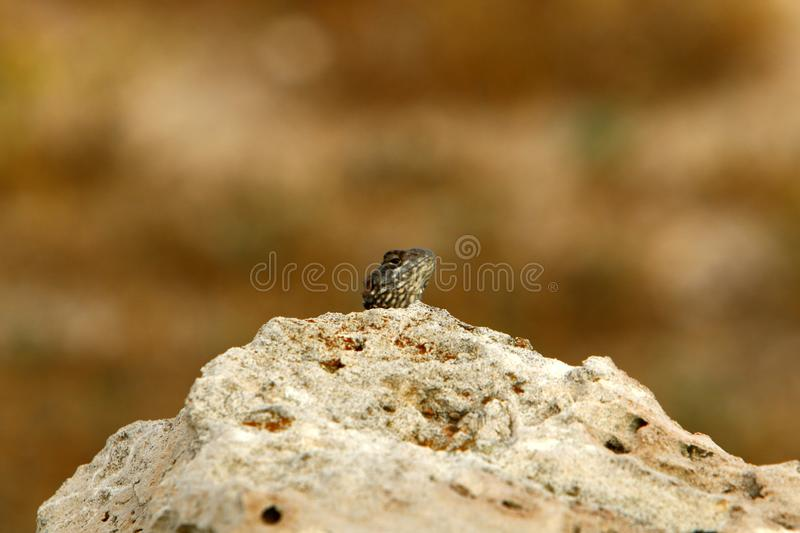 The lizard sits on a big rock and basks in the sun. The lizard sits on a large rock on the shores of the Mediterranean Sea and basks in the sun royalty free stock photo