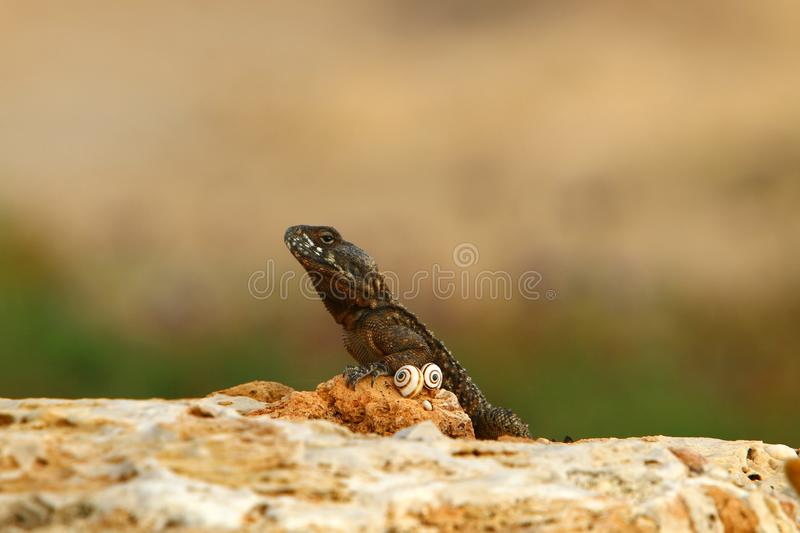 The lizard sits on a big rock and basks in the sun. The lizard sits on a large rock on the shores of the Mediterranean Sea and basks in the sun royalty free stock image
