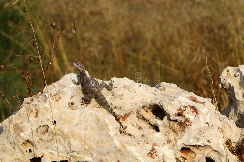 The lizard sits on a big rock and basks in the sun. The lizard sits on a large rock on the shores of the Mediterranean Sea and basks in the sun royalty free stock photography